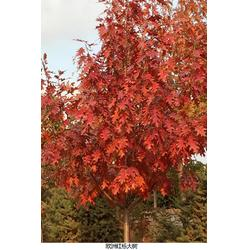 美国红橡树供应|舜枫园林|北京美国红橡树图片