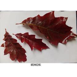 美国红橡树种子 四川美国红橡树 舜枫农林