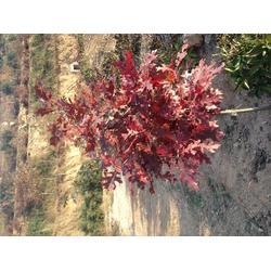 重庆火焰红栎-火焰红栎大全-舜枫农林图片