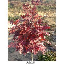 红栎小苗_湖北红栎小苗_舜枫彩叶苗木图片