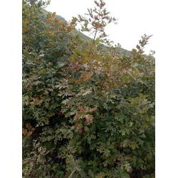 欧洲红栎直销-日照舜枫园林-江西欧洲红栎图片