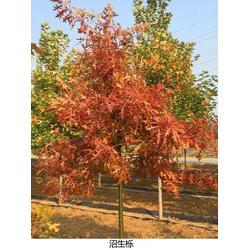 沼生栎报价-济南沼生栎-舜枫园林(查看)图片