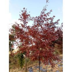 云南日本红枫树-日照舜枫农林-日本红枫树供应商图片