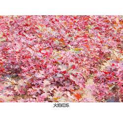 湖南火焰红栎-日照舜枫园林-火焰红栎种子图片
