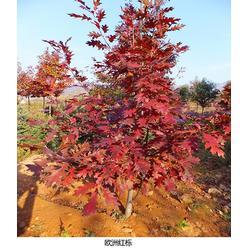 红栎苗木出售-舜枫农林(在线咨询)上海红栎苗图片
