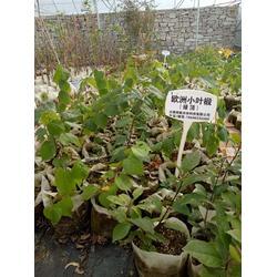 紫锻小苗市场、紫锻苗、日照舜枫园林图片