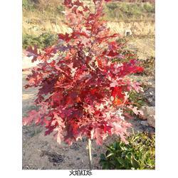 江西猩红栎_猩红栎栽种_舜枫农林(推荐商家)图片