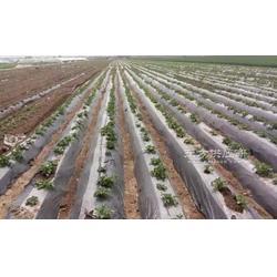 大白菜增产灌溉技术泽雨滴灌管厂家供应滴灌带PE管图片