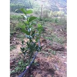 全国供应果园水果灌溉管滴灌PE管小管滴头根本浇水图片
