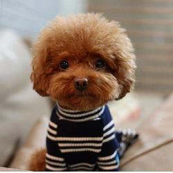 泰迪-成都宠家乐宠物用品-白色泰迪图片