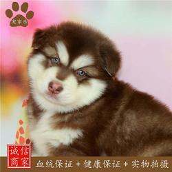 哪里卖阿拉斯加犬|阿拉斯加|宠家乐(查看)图片