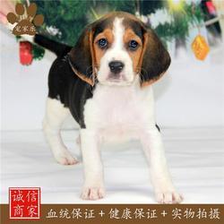 宠家乐宠物用品 比格犬价钱-比格犬图片