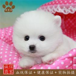 博美-成都宠家乐宠物用品-博美图片