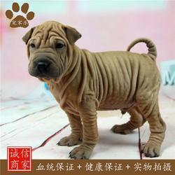 沙皮-成都宠家乐宠物用品-成都沙皮狗图片