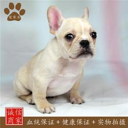 法国斗牛犬体型-法国斗牛犬-宠家乐宠物用品(查看)图片