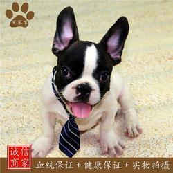 出售纯种法国斗牛犬_法国斗牛犬_宠家乐宠物用品图片