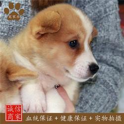 柯基_成都宠家乐宠物用品_三色柯基犬图片