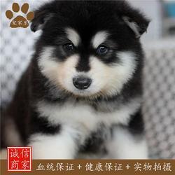 阿拉斯加雪橇犬-宠家乐(在线咨询)阿拉斯加图片