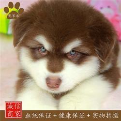 灰白阿拉斯加-阿拉斯加-宠家乐宠物用品图片