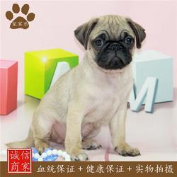巴哥-宠家乐宠物医疗-宠物狗巴哥多少钱图片