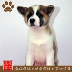 如何训练秋田犬、秋田、宠家乐宠物用品图片