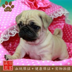 宠物狗巴哥多少钱-巴哥-宠家乐宠物(查看)图片