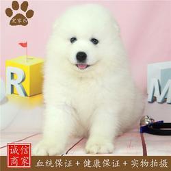 成都宠家乐 买萨摩耶狗-萨摩耶图片