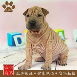 大沙皮犬_沙皮_宠家乐宠物用品(查看)图片