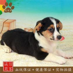 柯基|宠家乐宠物医疗|如何训练柯基犬图片