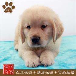 金毛-专业训练金毛犬-宠家乐(推荐商家)图片