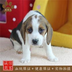 比格犬 宠物喂养指导 宠家乐(优质商家)图片