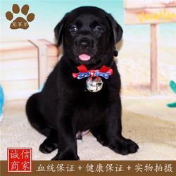 拉布拉多幼犬,拉布拉多,宠家乐宠物用品图片