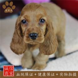 四川可卡犬-可卡-宠家乐图片