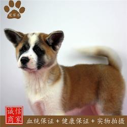 日本秋田犬,秋田,宠家乐宠物用品图片