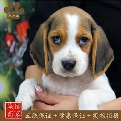 比格犬交配-宠家乐宠物医疗-比格犬图片