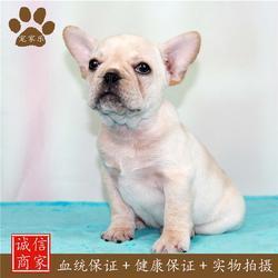 小型法国斗牛犬-法国斗牛犬-宠家乐图片