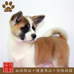 日本秋田犬寿命-秋田-宠家乐宠物(查看)图片