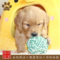 宠家乐宠物美容(图),养金毛犬的好处,金毛图片