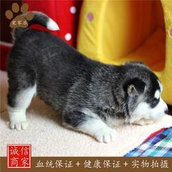 宠物美容-哈士奇-宠家乐宠物美容图片