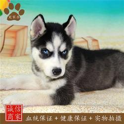 哈士奇 哈士奇幼犬 宠家乐(优质商家)图片