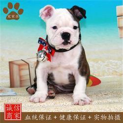 英斗牛犬寿命-英斗-宠家乐图片