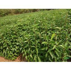 东西湖香樟树、华尚园林、15公分香樟树报价图片