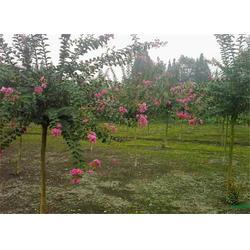 武昌紫薇树、华尚园林栾树、优质紫薇树图片