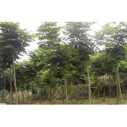10公分 栾树-华尚园林(在线咨询)仙桃栾树图片