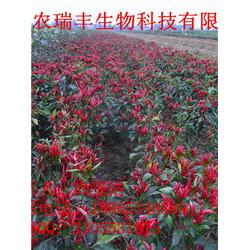 通化辣椒种子,英潮红,色素辣椒种子图片