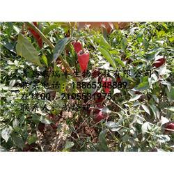 金昌辣椒种子、干鲜两用辣椒种子哪里卖、农瑞丰(优质商家)图片