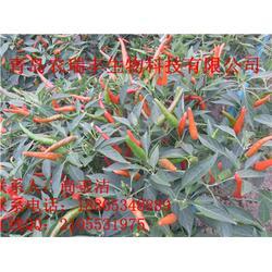 朝天椒、英潮红、朝天椒哪个品种好图片