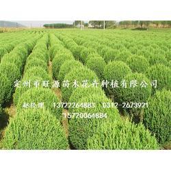 桧柏树苗、旺源绿化苗木基地、北京桧柏图片