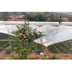 哪里有冬草莓,江津冬草莓,楠之林雪生态农业园(查看)图片