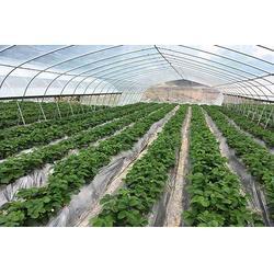 渝北冬草莓种植园、楠之林雪生态农业园、冬草莓种植园图片
